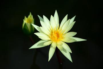 lotus, waterlily