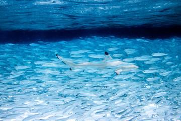 against the stream reef shark concept fish swarm mainstream leader background / Gegen den Strom