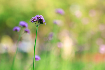 Beautiful of purple verbena flowers on natural green background