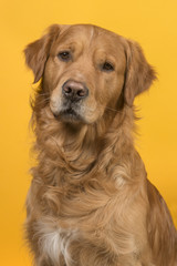 Portrait of a pretty male golden retriever dog looking at the camera on a yellow background