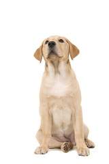 Pretty young blond labrodor retriever sitting and looking up isolated on a white background