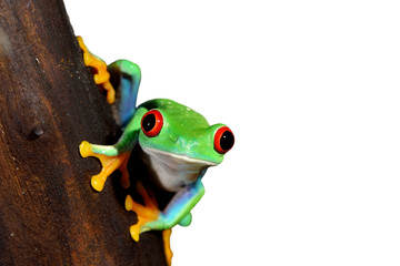 Fototapete - red-eye tree frog  Agalychnis callidryas