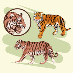 Beautiful tiger drawing vector illustration graphic design