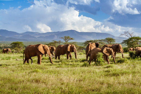 Herd of elephants in the african savannah