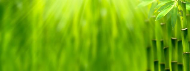 bambus im sonnenschein panorama