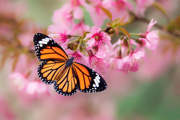 Butterfly on Pink cherry blossom on the rainy day