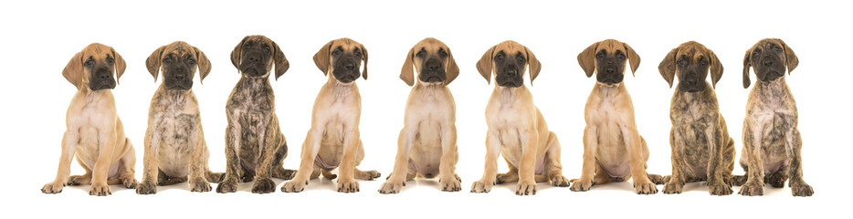 Litter of nine great dane puppies sitting in a row isolated on a white background