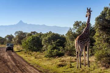 Giraffe looking at tourists in the African Savannah, Kenya