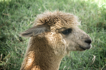 lama alpaca head