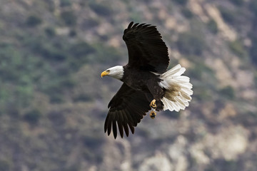 Bald eagle flying over valley