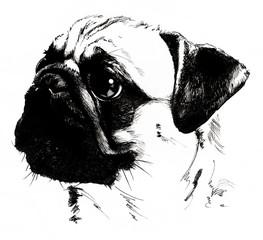 Hand drawn dog breed pug portrait