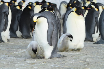 Emperor penguin (aptenodytes forsteri)with a baby bird in the colony, the area of the Haswell archipelago