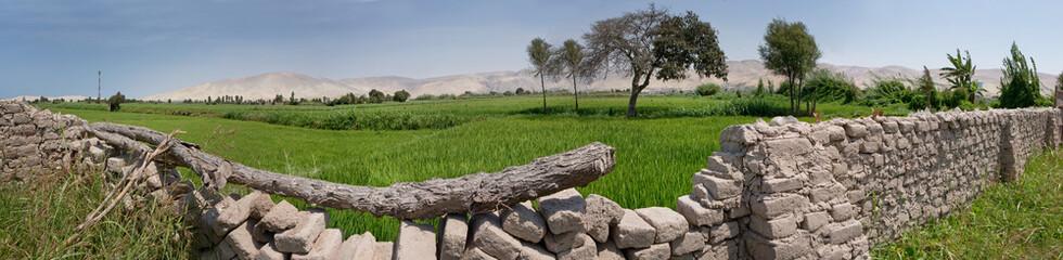 Camana Peru. Rice paddy's