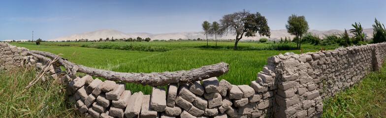 Camana Peru. Rice paddy's panorama