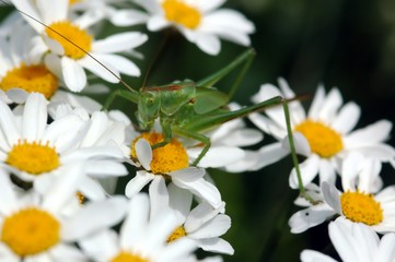 Green Grasshopper on white daisies, close-up