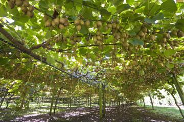 Kiwi Plantage in Neuseeland