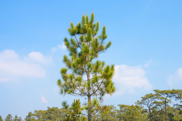 pine tree in tropical forest with blue sky