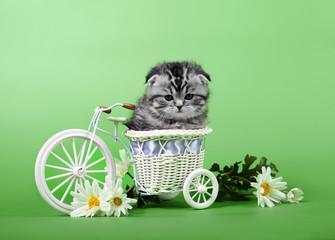 Small scottish fold kitten on green  bsckground
