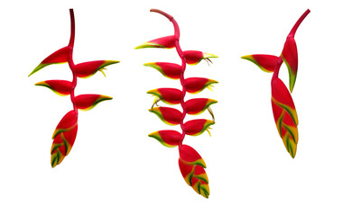 Red Heliconia rostrata (hanging lobster claw or false bird of paradise) tropical flower plant set isolated on white background, clipping path included