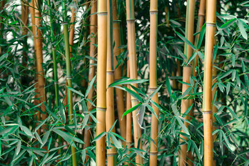 Planting fresh green and dried yellow bamboo. Bamboo grove