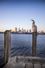 An Australian Darter sea bird sits perched atop a dock with Downtown Perth, Australia in the background.