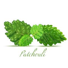 Patchouli Leaves. Realistic Elements for Labels of Cosmetic Skin Care Product Design. Vector Isolated Illustration