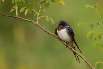 Barn swallows (Hirundo rustica) sitting on a beautiful background