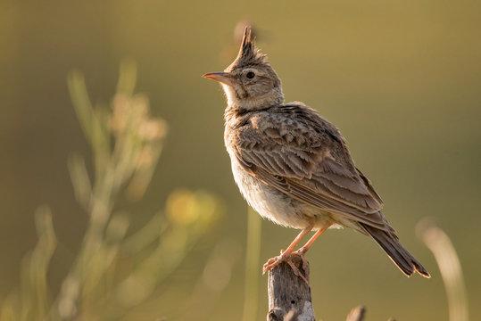 Crested lark (Galerida cristata) sitting on a wooden stick.