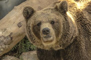 Primo piano di un orso bruno