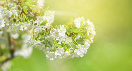 White cherry flowers. Beautiful flowering cherry tree. Background with blooming flowers in spring day, sun beams backlight, bokeh.