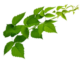 Raspberry / blackberry leaves isolated on white background without shadow. Healing plants.