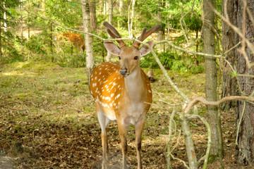 Roe deer in nature