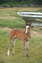 Baby Horse in Ushuaia, Tierra del Fuego, Argentina