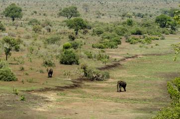 Eléphant d'Afrique, loxodonta africana, African elephant, Parc national Kruger, Afrique du Sud