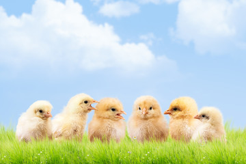 a lot of chickens communicate with each other.