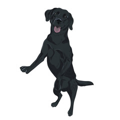 Black labrador dog jumping. Trained puppy for your design. Black purebred canine isolated on white background.