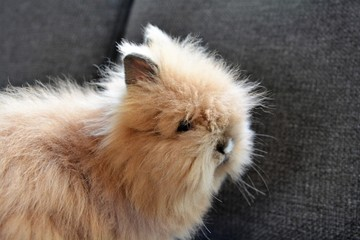 brown fluffy bunny
