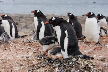 Gentoo penguin's chicks poops