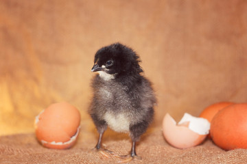The black chicken hatched from the egg.Black chick on a brown background