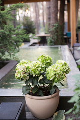 Hydrangea olive-colored in a flowerpot in a beautiful stylish interior of the pool background.
