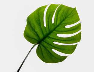 Monstera Leaf with stem on white