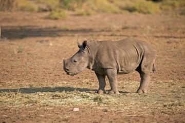 Baby Nashorn