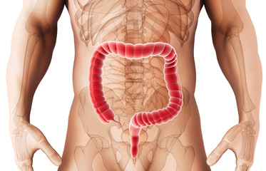 3D illustration of Large Intestine.