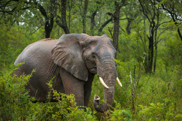 Portrait of a young Elephant surrounded by green Trees in Kruger National Park, South Africa