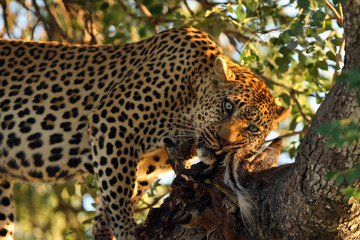 The African leopard (Panthera pardus pardus) , big cat with prey on the tree.