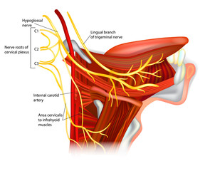 Cranial Nerves - hypoglossal nerve. Ansa hypoglossi and muscles supplied by the hypoglossal nerve.