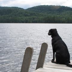 labrador, dog, black dog, lake, dock, lake