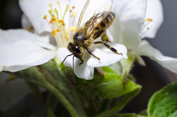 The bee collects pollen on a white flower of blossoming cherry in the spring, collected a pouch under the foot