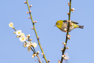 Japanese White Eye and plum flowers