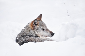 Grey wolf resting in deep snow winter den lair